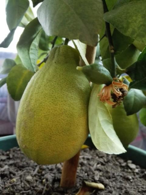 Zitronen-Ernte